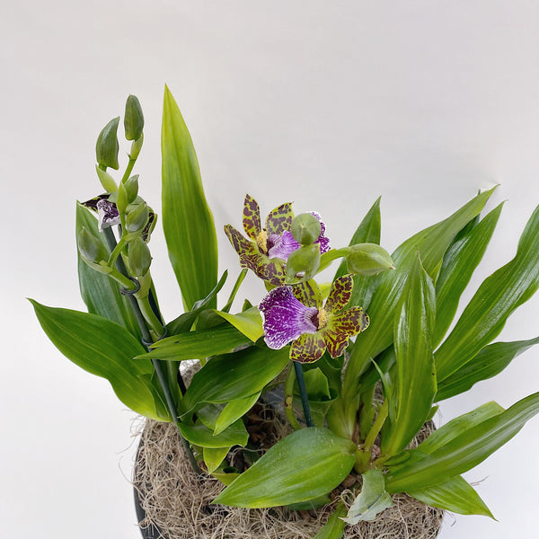 Zygopetalum Orchid In Planter