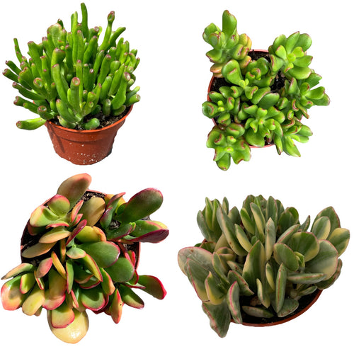 Crassula Jade Collection