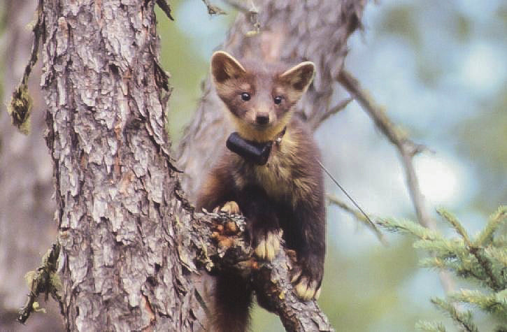 MI-2 transmitter attached to a pine marten (Martes americana). Photo: Philip A. Wiebe (2002).