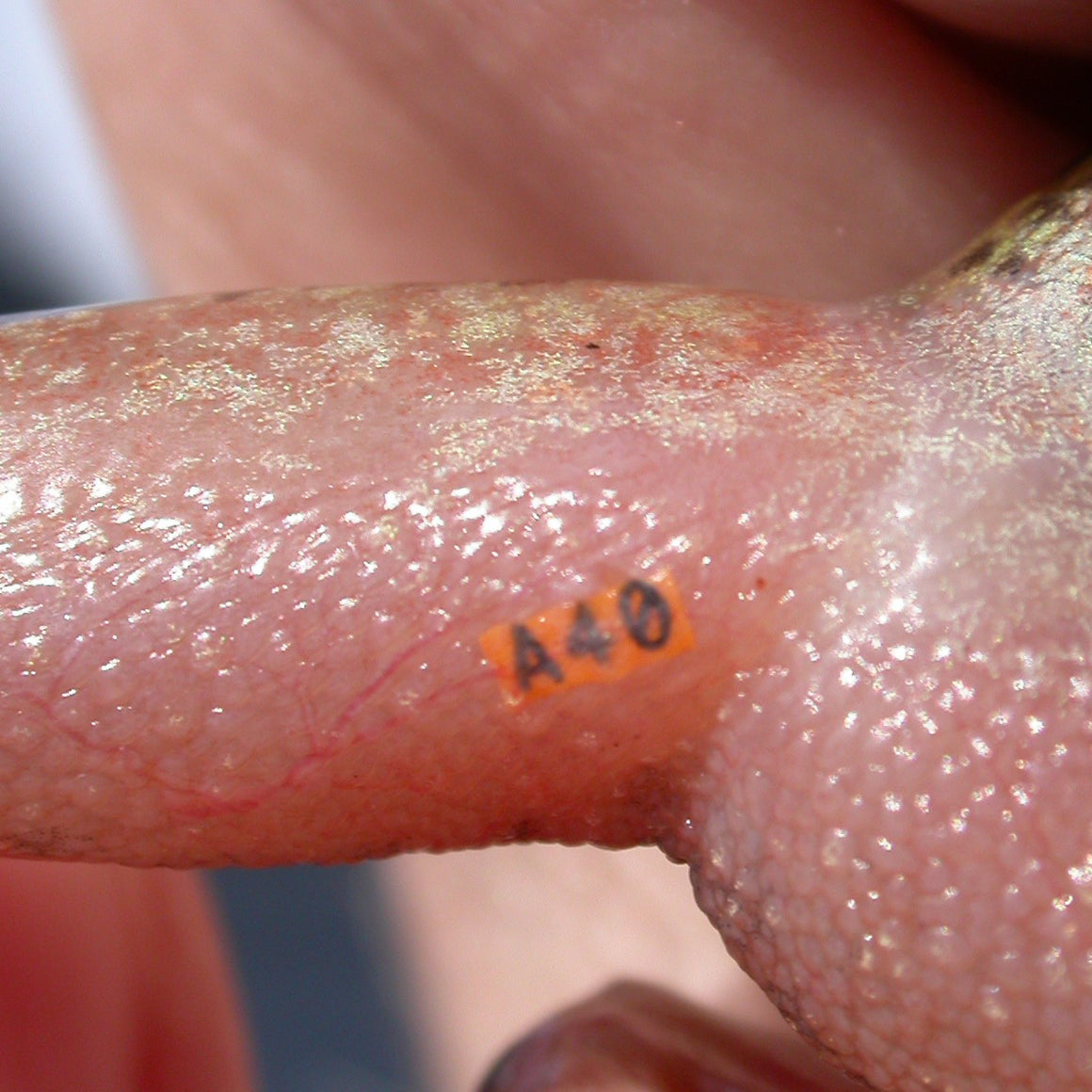 VI Alpha Tags can be injected under clear and lightly pigmented tissue, as in this frog leg.