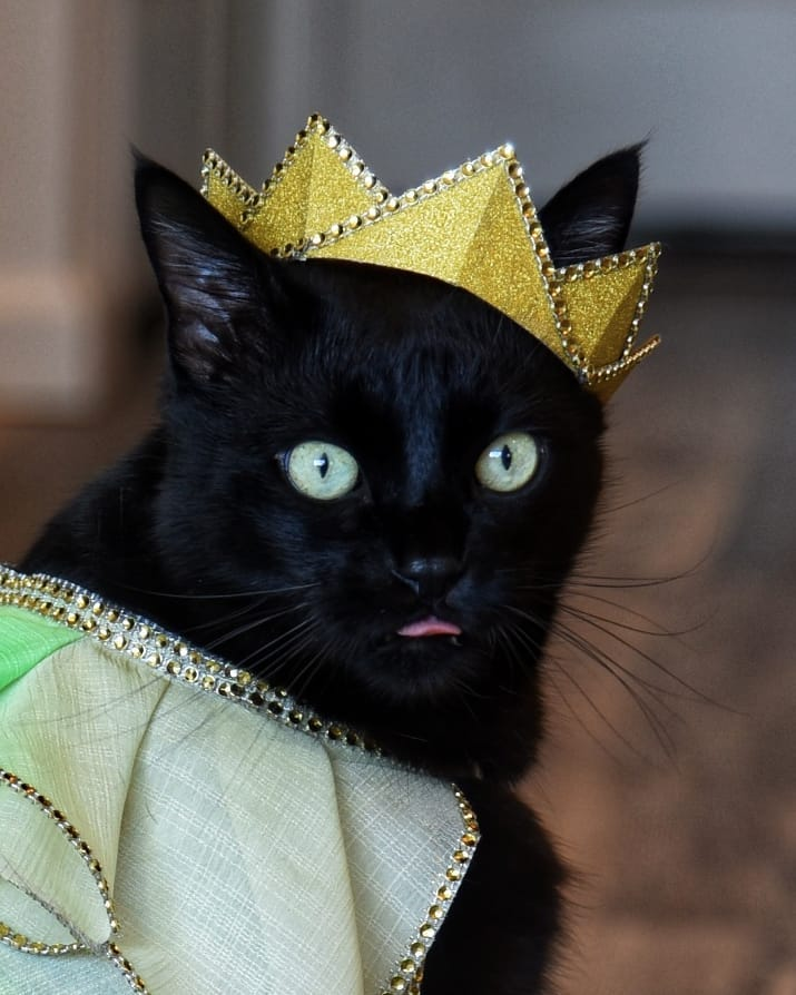 Rover the cat in a crown with his tongue sticking out.
