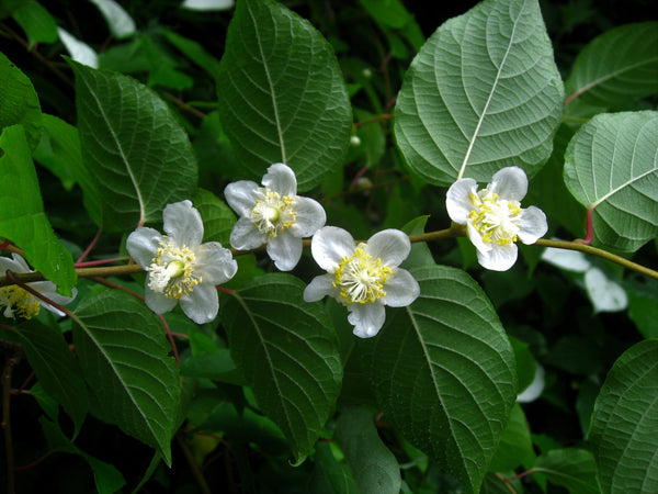 What You Need to Know About Silvervine - Munchiecat