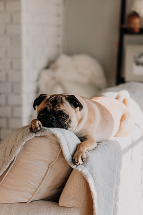 Pug Dog on Couch. Eezy fabric comb removes fuzz balls, hair balls, bobbles, dog and cat hair, lint, dust, from your Knitwear and upholstered couches, dining chairs, upholstered bedheads, rugs and carpets.