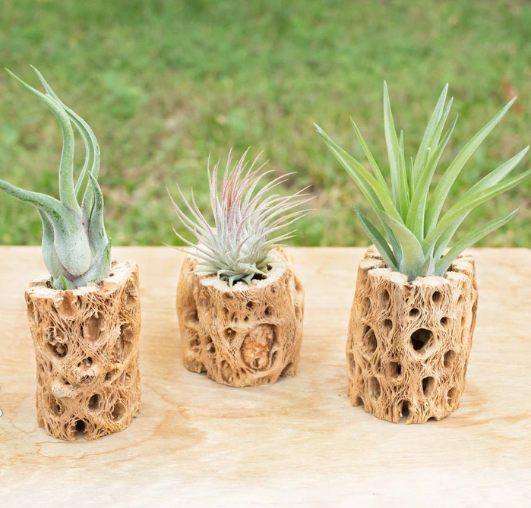 Air Plant in Natural Wood Container