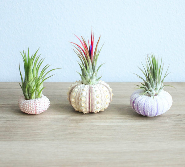 Air Plants in Urchin Shells