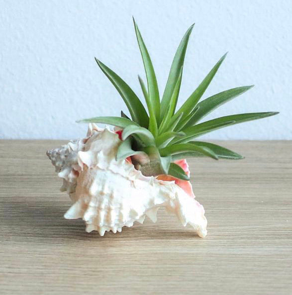 Seashell with Velutina Air Plant