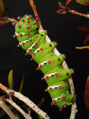 Yikes Toys presents Caterpillar Day, Sunday August 21, 2016