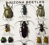 Science / Arizona Beetle Collection