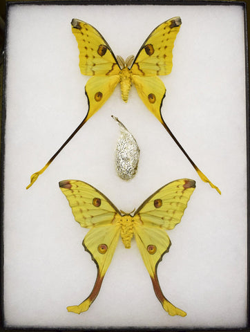 Madagascar Comet Moths & Cocoon Collection