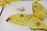 Science / Madagascar Comet Moths and Cocoon Collection