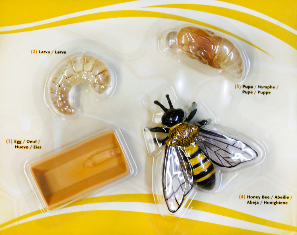 Science / Honey Bee Life Cycle