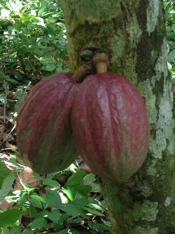 Cocoa Pods on Plantation Africa