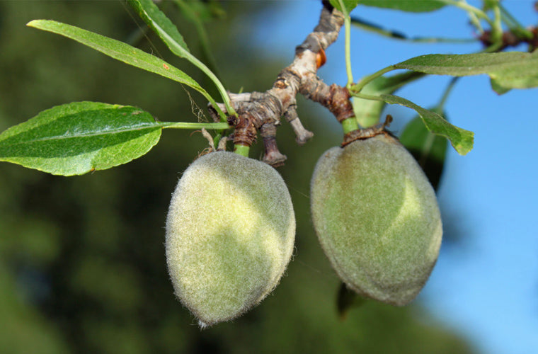 almond orchard
