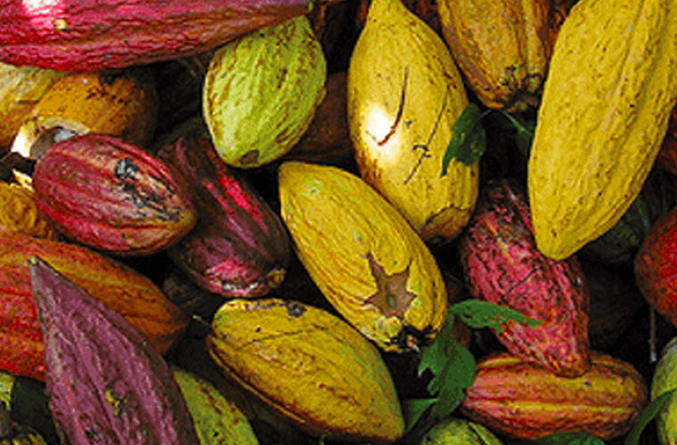 Willie's Cacao chocolate bean pods
