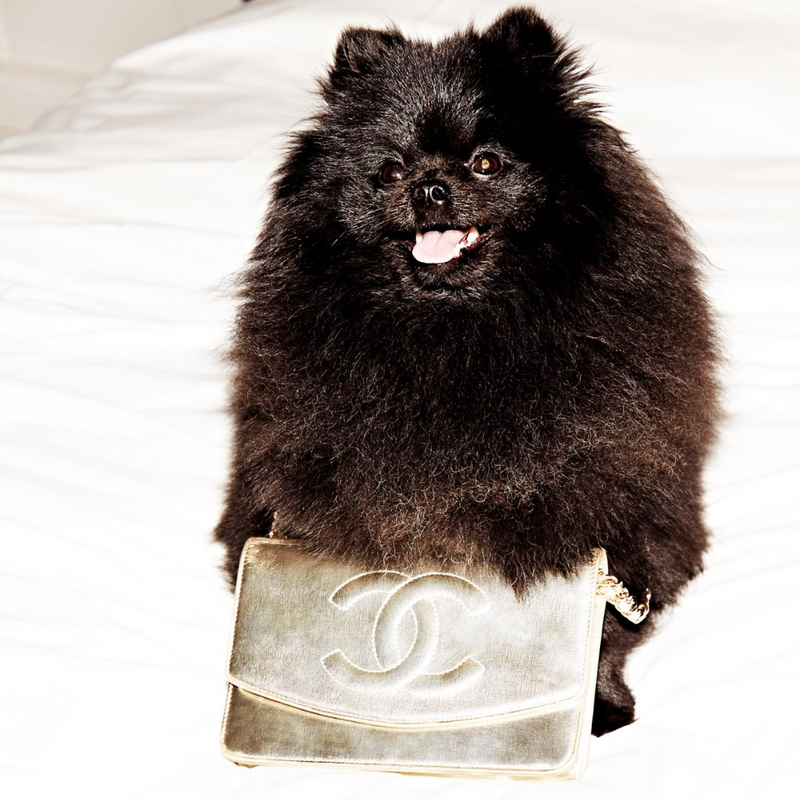 Black Pomeranian dog with Chanel gold bag