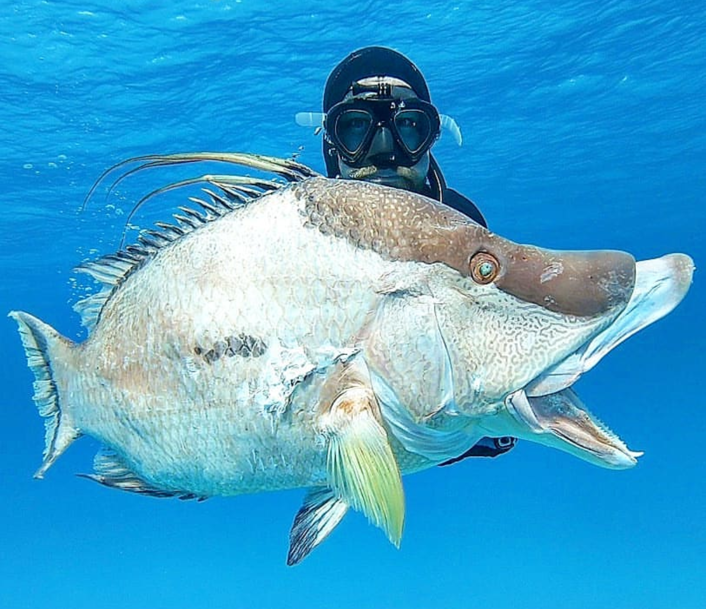 Spearfishing, freediving, polespear, headhunter spearfishing, hog fish, freedive, hunting, fishing