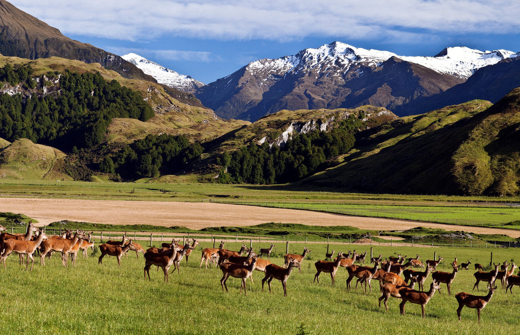 deer in new zealand