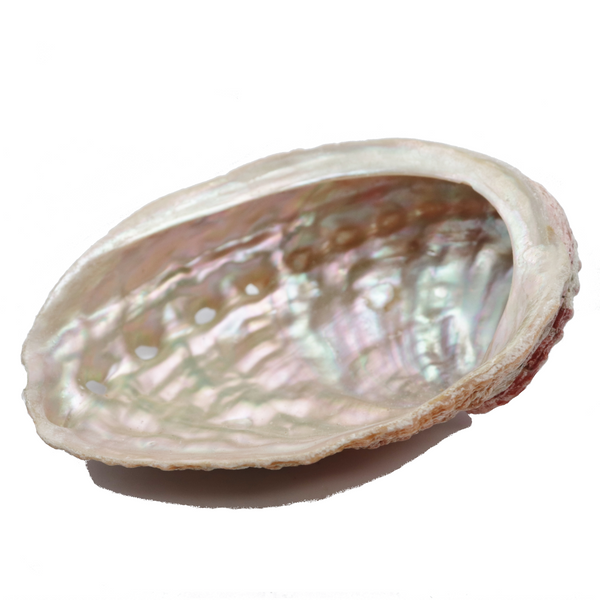 Abalone Shell for Sale | Dinomite Rocks and Gems