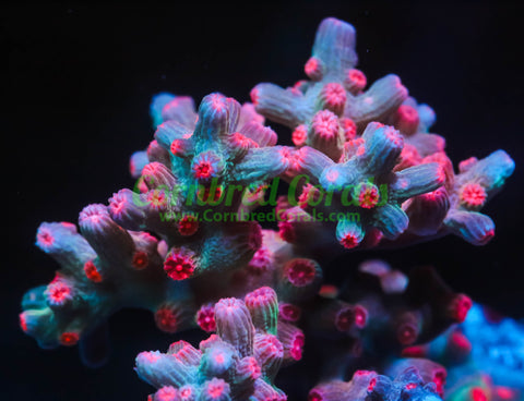 Branching Bleeding Rainbow Cyphastrea