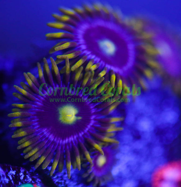 Cornbred's Purple Poison Zoa