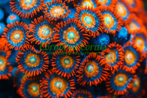 Cornbred's Blonde Hair Blue Eyed Bitch Zoas