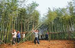 bamboo harvested by hand