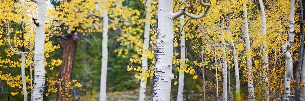 Aspen Trees wall Mural Wall Mural-Landscapes & Nature,Panoramic-Eazywallz