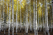Autumn birch forest Wall Mural-Landscapes & Nature-Eazywallz