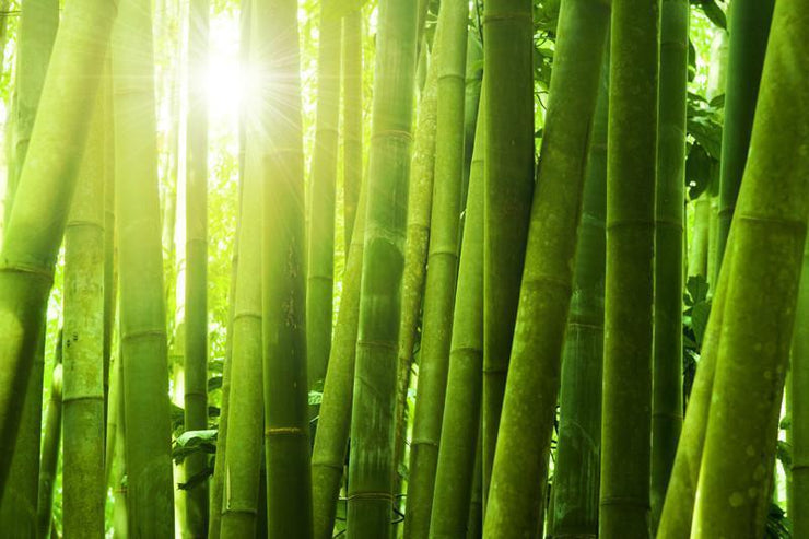 Bamboo forest with morning sunlight wall Mural Wall Mural-Landscapes & Nature,Zen-Eazywallz