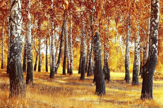 Birch Forest in Fall Wall Mural-Landscapes & Nature-Eazywallz