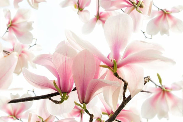 Blossoms of a magnolia tree in spring Wall Mural-Florals,Featured Category of the Month-Eazywallz