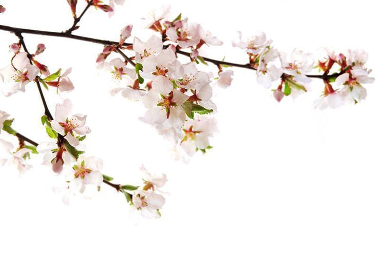 Branch of pink cherry blossoms Wall Mural-Florals,Featured Category of the Month-Eazywallz