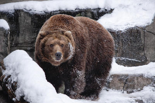 Brown bear in snow Wall Mural-Animals & Wildlife-Eazywallz