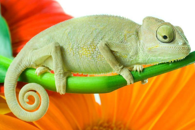 Chameleon on flower Wall Mural-Animals & Wildlife,Macro-Eazywallz