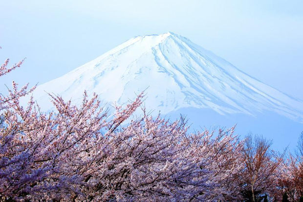 Cherry blossoms with Mount Fuji, japan Wall Mural-Buildings & Landmarks,Landscapes & Nature-Eazywallz