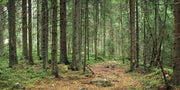 Deep Pine Forest Wall Mural-Landscapes & Nature,Panoramic-Eazywallz