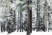 Deep Winter Forest Mural Wallpaper-Black & White,Landscapes & Nature-Eazywallz