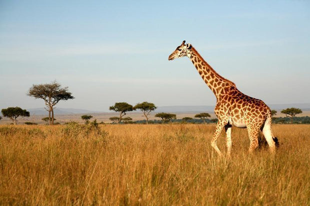 Giraffe walking through the grasslands Wall Mural-Animals & Wildlife,Landscapes & Nature-Eazywallz