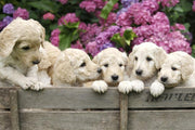 Golden Labradoodle Puppies Wall Mural-Animals & Wildlife-Eazywallz