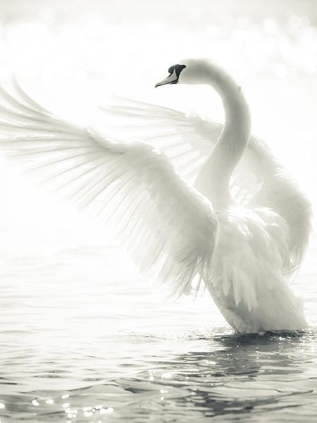 Graceful Swan Wall Mural-Animals & Wildlife,Black & White,Best Rated Murals-Eazywallz