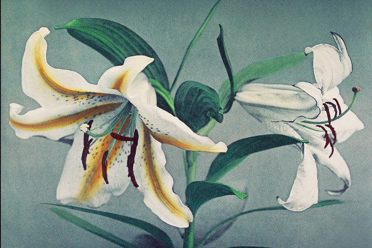 Hand Coloured White Lily Wall Mural-Patterns-Eazywallz