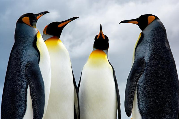 King penguins Wall Mural-Animals & Wildlife-Eazywallz