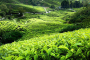 Malaysian Tea Plantation Wall Mural-Landscapes & Nature-Eazywallz
