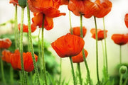 Poppy flowers Wall Mural-Florals,Featured Category of the Month-Eazywallz