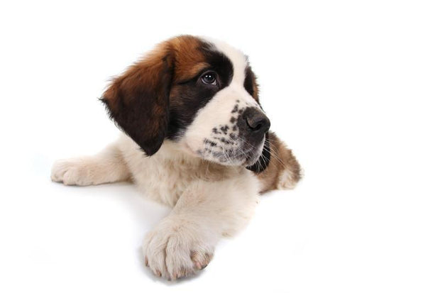 Puppy Saint Bernard Wall Mural-Animals & Wildlife-Eazywallz