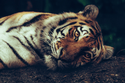 Resting Tiger Wall Mural-Animals & Wildlife-Eazywallz
