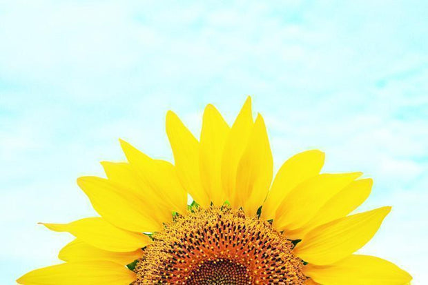 Sunflower Wall Mural-Florals,Featured Category of the Month-Eazywallz