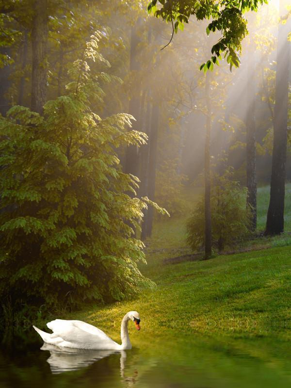 Swan on the lake Wall Mural-Animals & Wildlife,Landscapes & Nature-Eazywallz