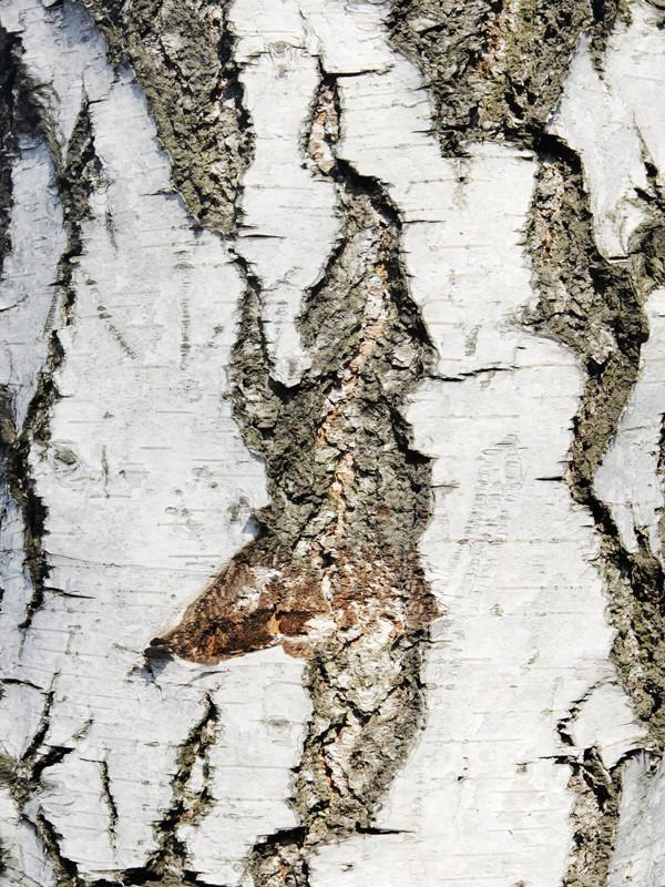 Texture of birch bark Wall Mural-Macro,Textures-Eazywallz