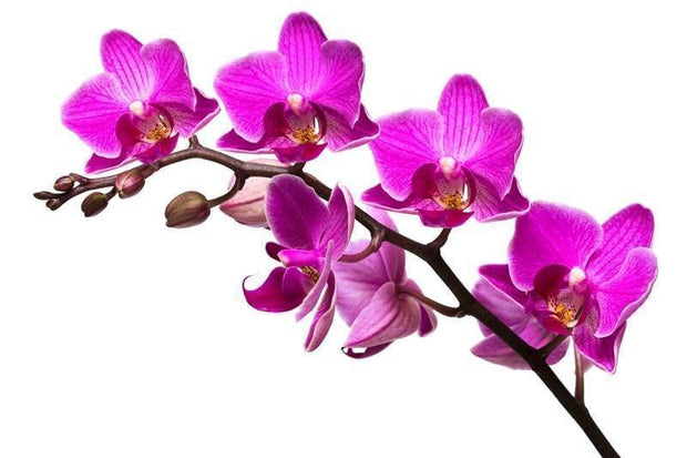 Vibrant orchid Wall Mural-Florals,Featured Category of the Month-Eazywallz